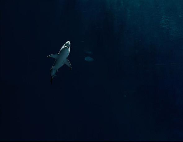 Захваченная Белая Акула. Monterey Bay Aquarium (Монтерей, Калифорния). В 2004 Monterey Bay Aquarium (MBA) стал первым аквариумом в мире, который разместил у себя белую акулу на долгий срок. Общее время ее пребывания в аквариуме насчитывало 198 дней. За это время акула сильно выросла, следствием чего стали видимые повреждения носа из врезания в стеклянные стены.  Изначально акула была найдена учеными в рыболовной сети. Целью Программы исследований Белой Акулы MBA состоит в том, чтобы лучше защитить этих созданий, получая сведения об их биологии, поведении и причастности к морской экосистеме. . Изображение № 17.