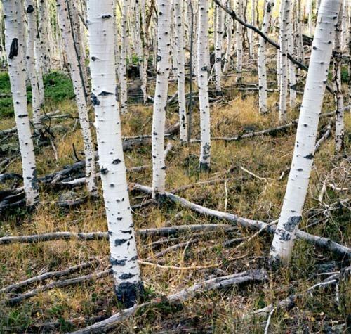 Искусство природы. Старейшие деревья в мире. Изображение № 1.
