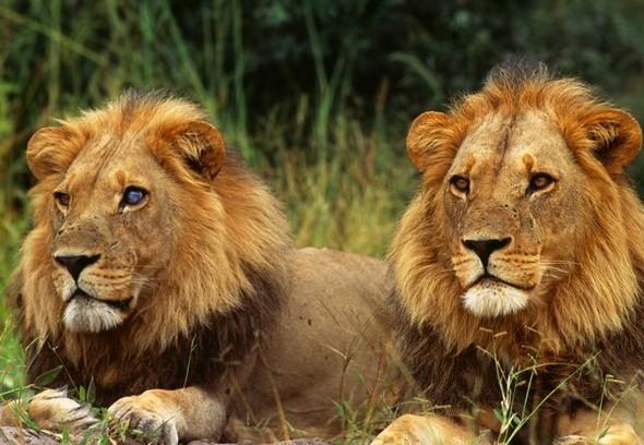 Лев. Леопард. Африка. Изображение № 4.