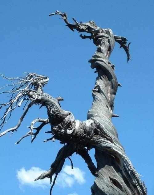 Искусство природы. Старейшие деревья в мире. Изображение № 13.