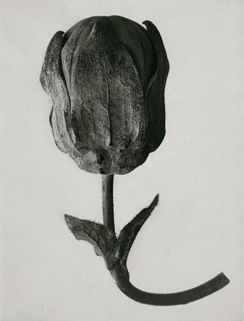 """KARL BLOSSFELDT """"Unformen DerKunst"""". Изображение № 8."""