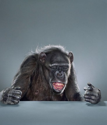 "Jill Greenberg ""Monkey portraits"". Изображение № 33."