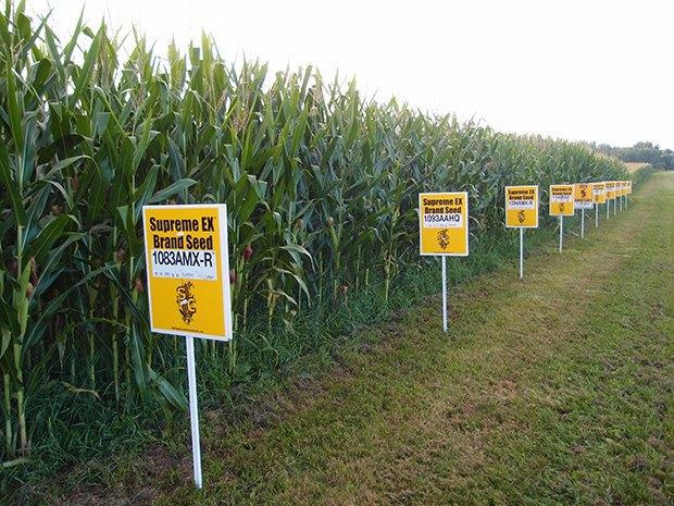 Что такое ГМО: «золотой рис», рыбки-хамелеоны и голубые розы. Изображение № 12.