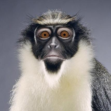 """Jill Greenberg """"Monkey portraits"""". Изображение № 5."""