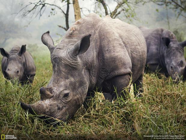 Белые носороги в Уганде / Автор: Stefane Berube. Изображение № 7.