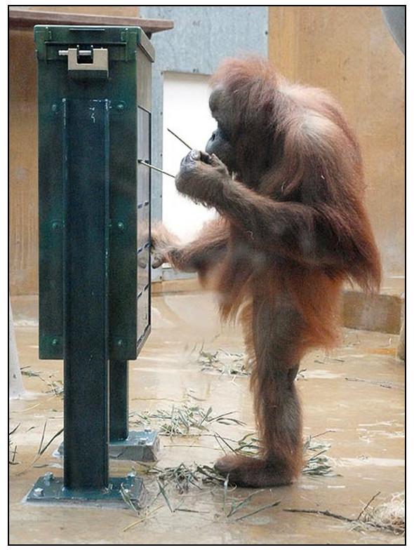 Орангутана-тест. Изображение № 1.