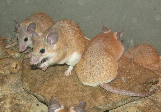 Учёные частично омолодили лабораторных мышей. Изображение № 1.