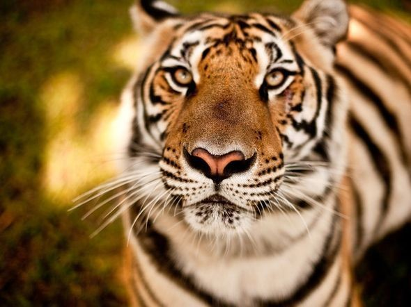 Tiger, Chiang Mai. Изображение № 31.