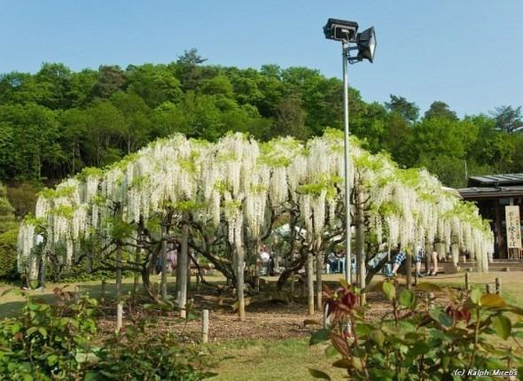 Цветочные водопады Асикага. Изображение № 8.