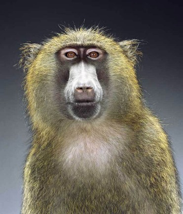 "Jill Greenberg ""Monkey portraits"". Изображение № 53."