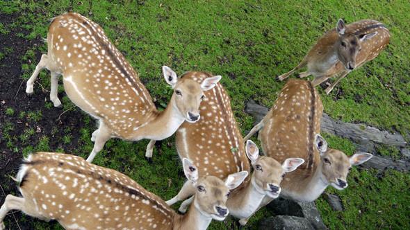 Большая резервация с оленями. У забора бегают молодые попрошайки и просят протянуть те дубовые веточки с желудями, до которых они они сами не могут дотянуться. Изображение № 3.