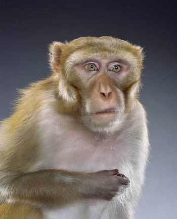 "Jill Greenberg ""Monkey portraits"". Изображение № 52."