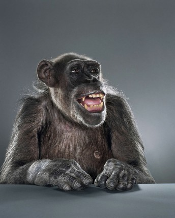 "Jill Greenberg ""Monkey portraits"". Изображение № 31."