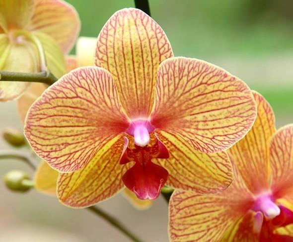 Орхидея. Изображение № 10.
