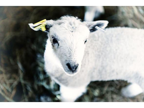 Готландские овцы. Изображение № 75.