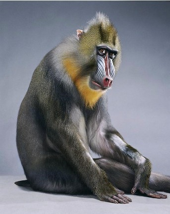 "Jill Greenberg ""Monkey portraits"". Изображение № 3."