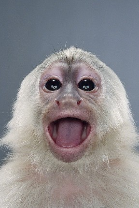 "Jill Greenberg ""Monkey portraits"". Изображение № 19."