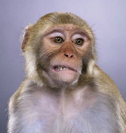 "Jill Greenberg ""Monkey portraits"". Изображение № 41."