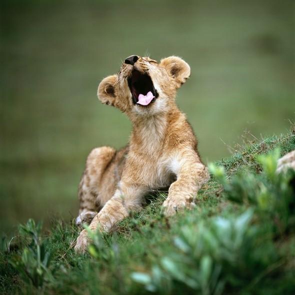 Король Лев. Изображение № 4.