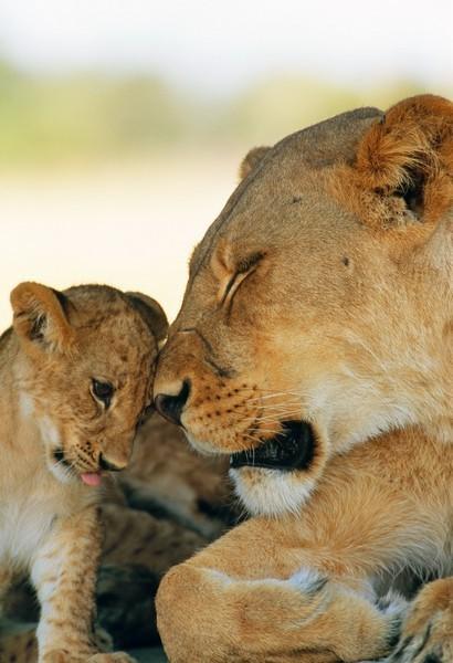 Лев. Леопард. Африка. Изображение № 11.