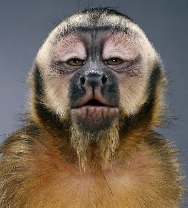 "Jill Greenberg ""Monkey portraits"". Изображение № 42."