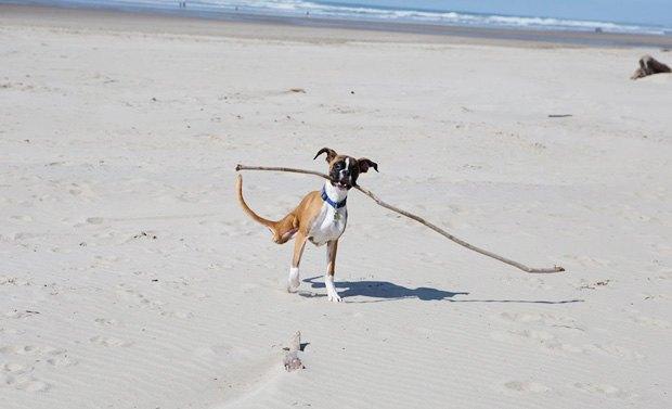 Собака научилась бегать на двух ногах. Изображение № 1.