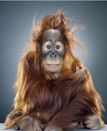 "Jill Greenberg ""Monkey portraits"". Изображение № 12."