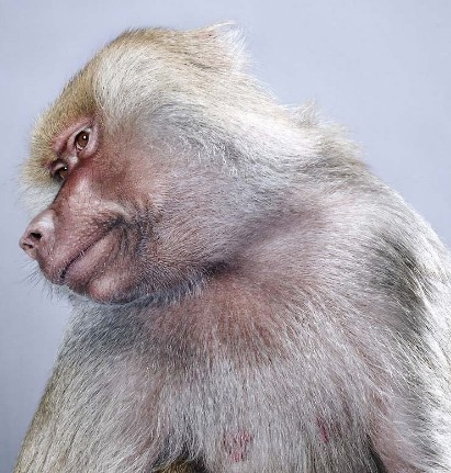 "Jill Greenberg ""Monkey portraits"". Изображение № 15."