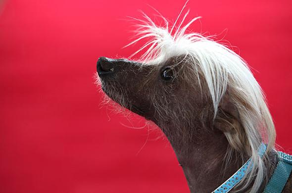 Конкурс: самые уродливые собаки. Изображение № 10.