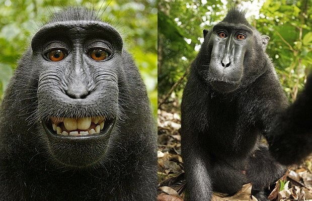 Почему «Википедия» защищает права обезьяны-фотографа. Изображение № 2.