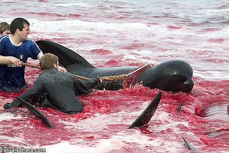 Убийство дельфинов вДании. Изображение № 5.