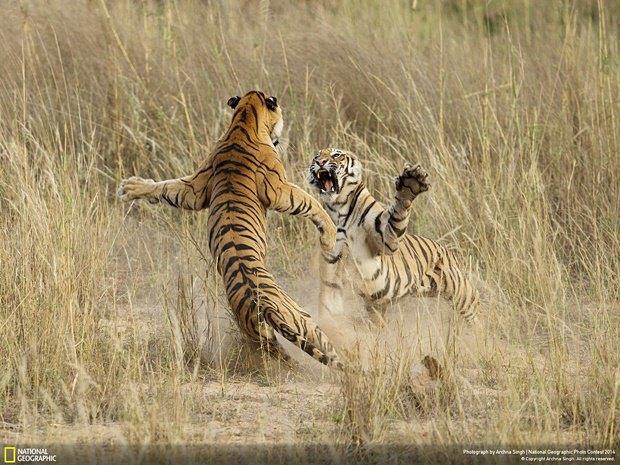 Фотограф: Archna Singh / Место: национальный парк в штате Мадхья-Прадеш, Индия. Изображение № 18.