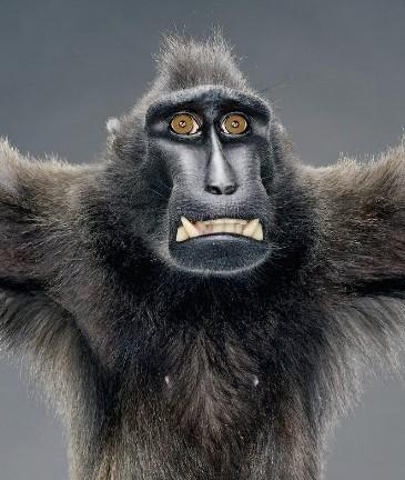 """Jill Greenberg """"Monkey portraits"""". Изображение № 11."""