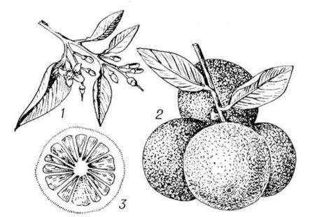 Чудесный фрукт ГрейпфруКт ). Изображение № 1.