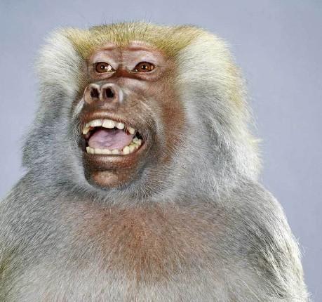 """Jill Greenberg """"Monkey portraits"""". Изображение № 48."""