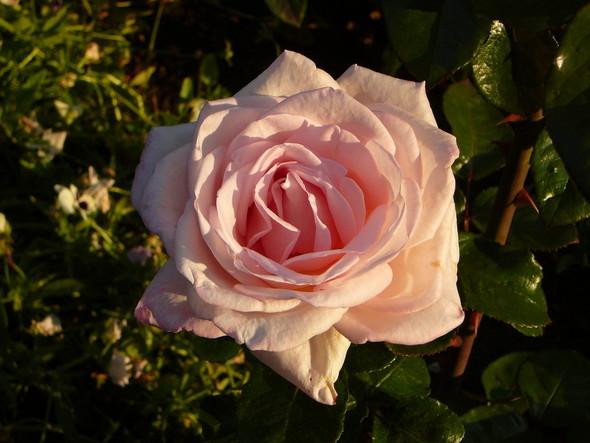 Её величество розы. Изображение № 6.