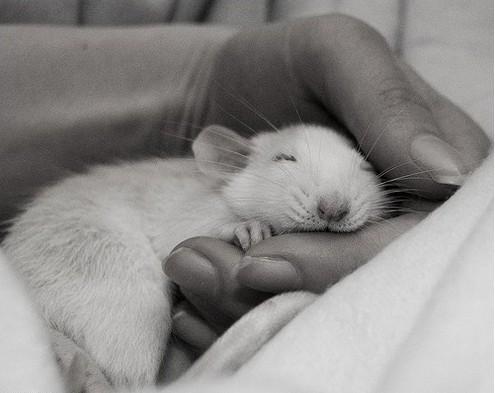 Фотосессия крысят отJessica Florence. Изображение № 7.