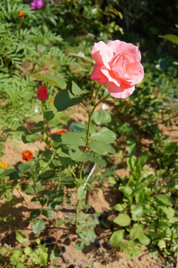 Её величество розы. Изображение № 5.