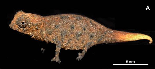 Хамелеон (Brookesia) - он самый мелкий)). Изображение № 3.
