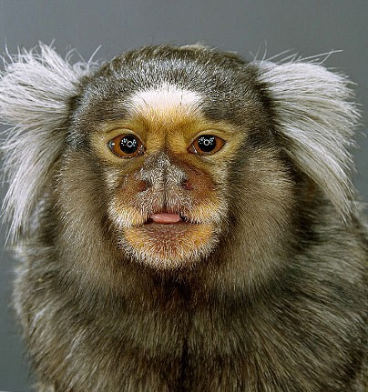 "Jill Greenberg ""Monkey portraits"". Изображение № 25."