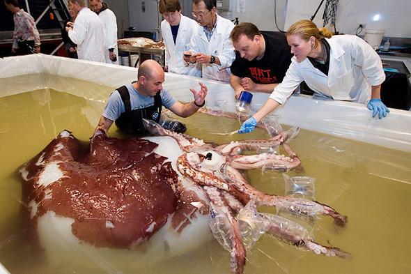 Новозеландские ученые изучают гигантского кальмара. Изображение № 1.