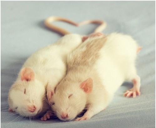 Фотосессия крысят отJessica Florence. Изображение № 9.