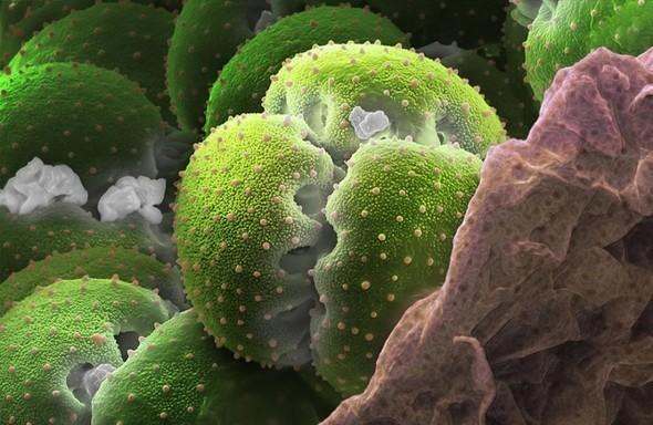 Микроскоп-2: Пыльца. Изображение № 6.
