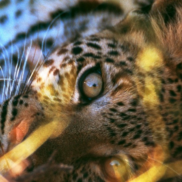 Лев. Леопард. Африка. Изображение № 10.
