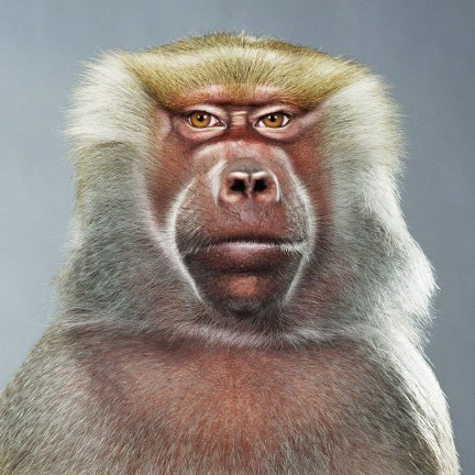 "Jill Greenberg ""Monkey portraits"". Изображение № 30."