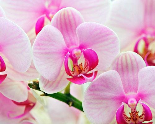 Орхидея. Изображение № 11.
