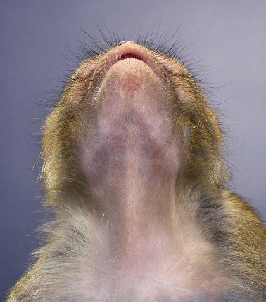 """Jill Greenberg """"Monkey portraits"""". Изображение № 45."""