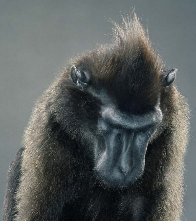 "Jill Greenberg ""Monkey portraits"". Изображение № 49."