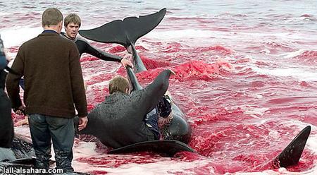 Убийство дельфинов вДании. Изображение № 6.