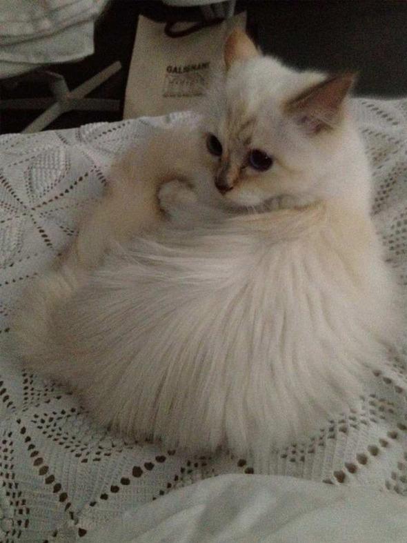 Кошка Карла Лагерфельда снялась для i-D. Изображение № 8.